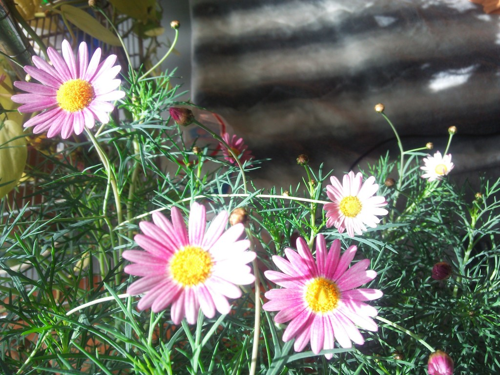 早くもマーガレット開花