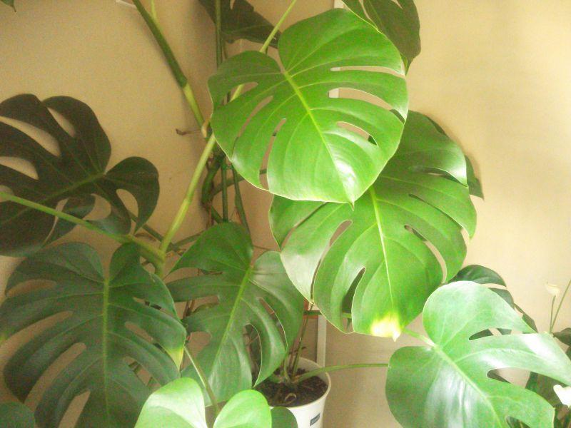 100円均一の観葉植物は育つのか?? ~観葉植物を買ったら気をつけること~