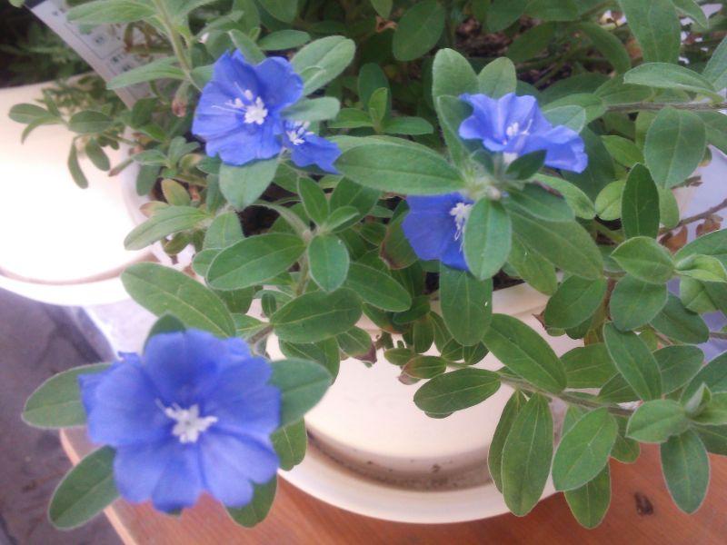 アメリカンブルーの開花とヒポエステスの挿し芽