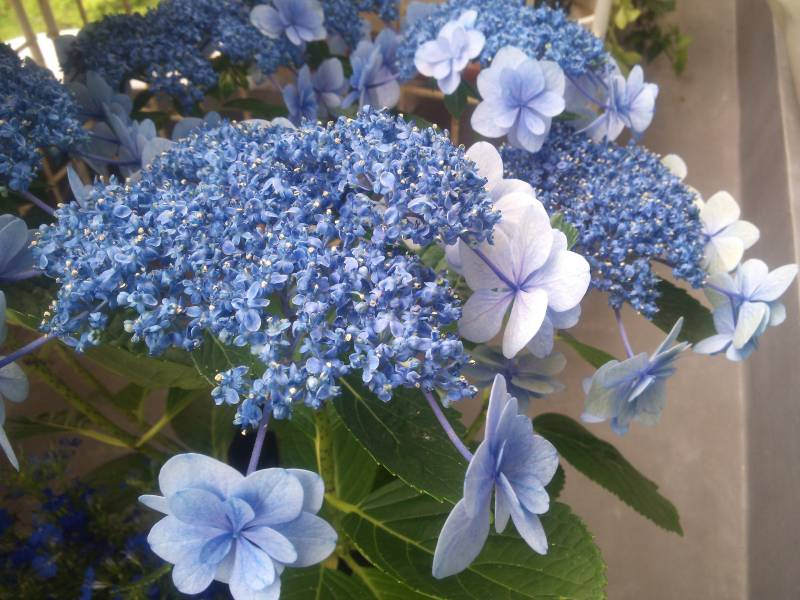 水栽培 紫陽花 挿し木