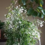 羽衣ジャスミンの花が咲かないのは・・・。