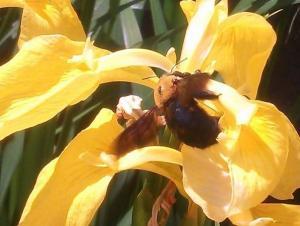 実は人間に危害を加えない安全なミツバチ「クマバチ(クマンバチ)」の特徴と習性