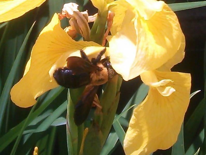 安全なミツバチ「クマバチ」の写真